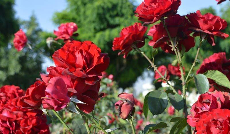 جلوه بهشت در باغ گل رز فراهان