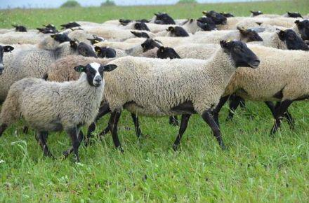 معرفی گوسفند نژاد رومانف از طرف فعالان علمی انجمن جهت سرمایه گذاری و یا پرورش